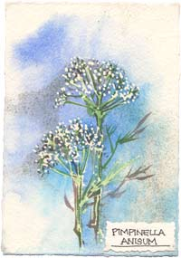 Watercolor painting of the Anise plant