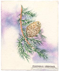 Watercolor painting of Cedar plant.