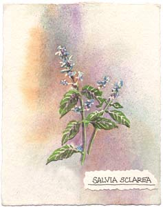 Watercolor painting of Clary Sage plant.