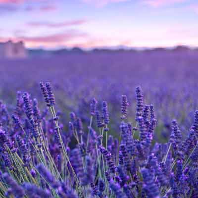 Organic French Lavender Buds