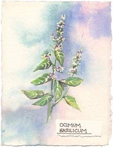 Watercolor painting of french basil plant.