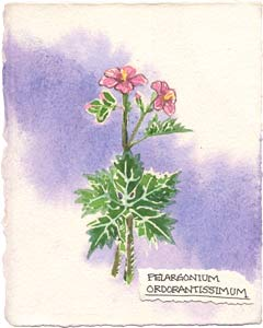 Watercolor painting of the rose geranium plant