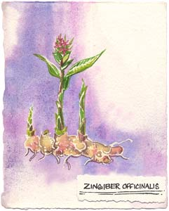 Watercolor painting of the ginger plant