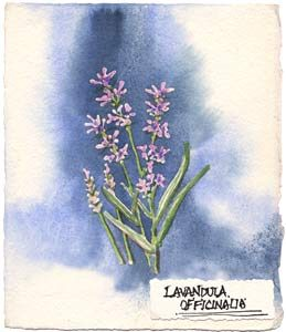 Watercolor painting of french lavender plant