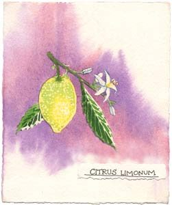 Watercolor painting of lemon branch.