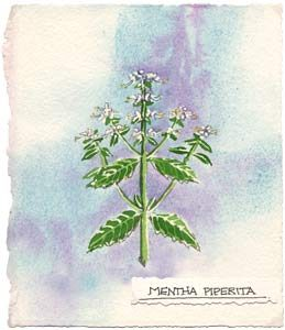 Watercolor painting of the peppermint plant.
