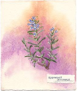 Watercolor painting of rosemary plant.