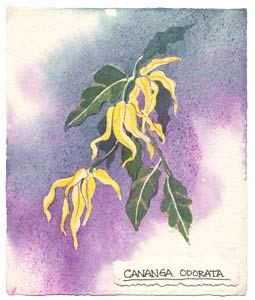 Watercolor painting of the ylang ylang plant.