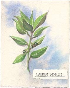 Watercolor painting of the Bay plant