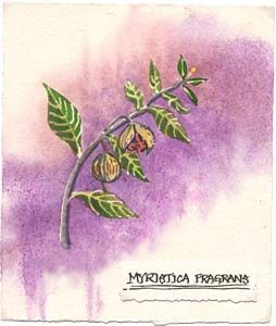 Watercolor illustration of nutmeg plant