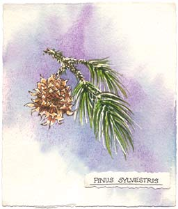 Watercolor illustration of Pine