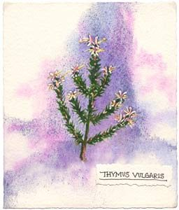 Red Thyme watercolor illustration