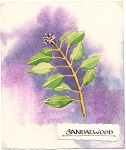 Watercolor illustration of Sandalwood