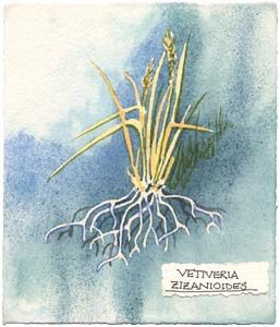 Watercolor painting of vetiver plant